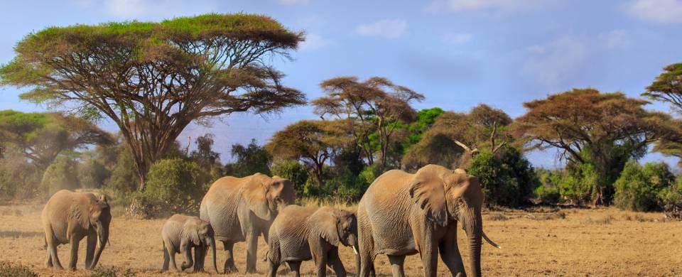 Herd of Elephants walking across savannah at Amboseli