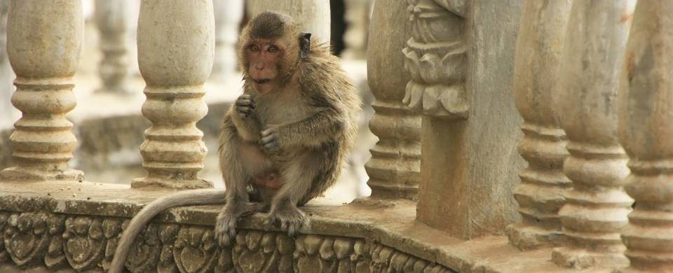 Monkey sitting near some pillars in Battambang