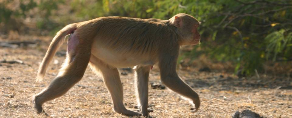 Monkey walking through Bharatpur
