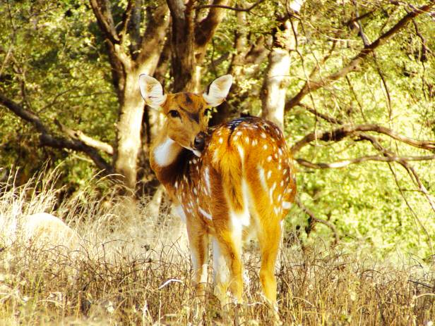 Chital in the long grass of Kanha National Park