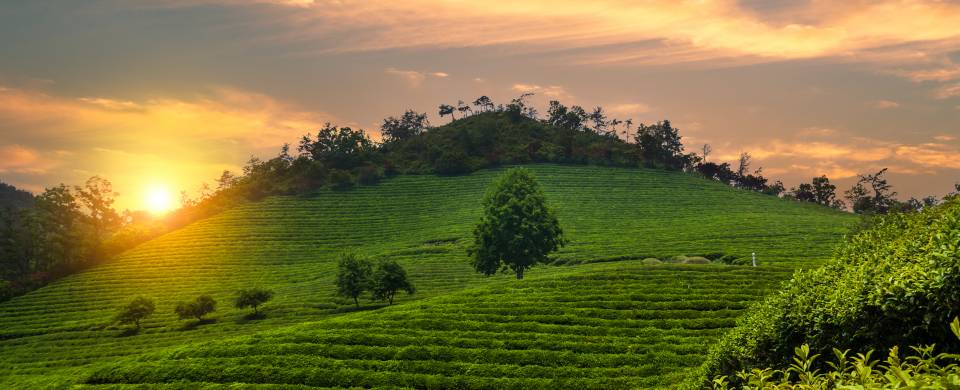 Tea plantations covering the hills of Boseong at sunset