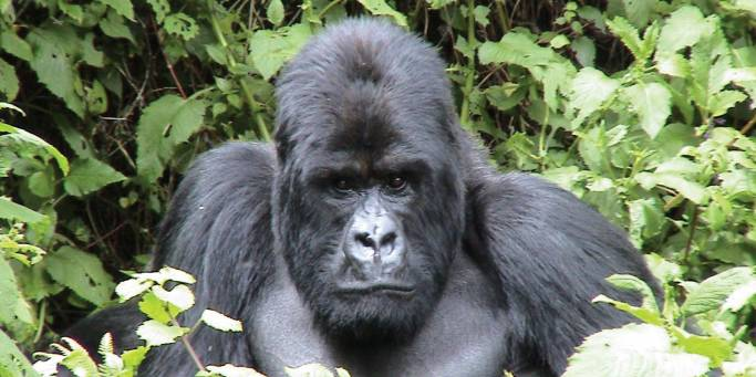 Gorilla | Uganda | Africa