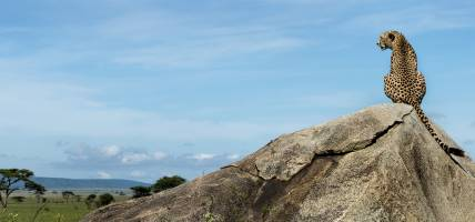 Cheetah sitting on a rock and looking away, Serengeti, Tanzania - Africa Overland Safaris - Africa L