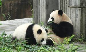 Chengdu Pandas-China Tours-On The Go Tours