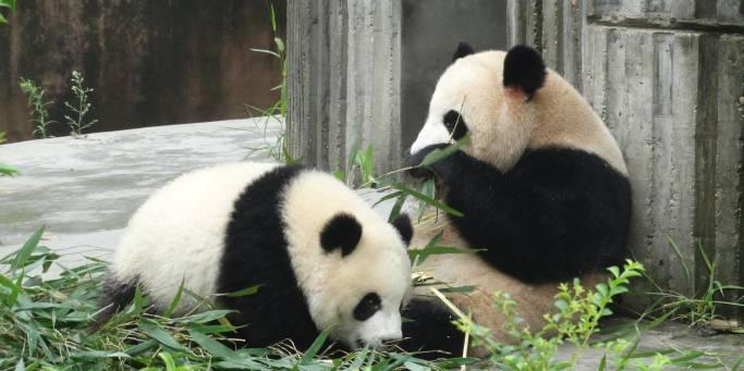 Gaint pandas | China