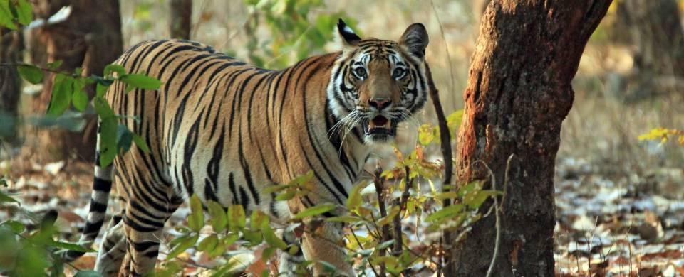 Tiger walking in Corbett National Park