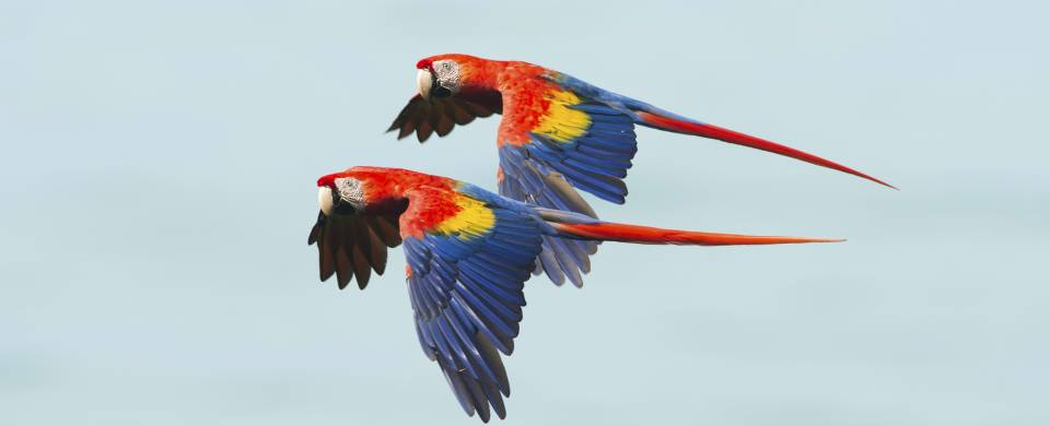 Two beautiful, brightly coloured macaws flying together in the Corcovado National Park