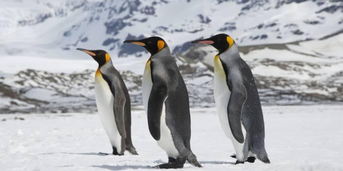 King Penguins | South Georgia | Antarctica
