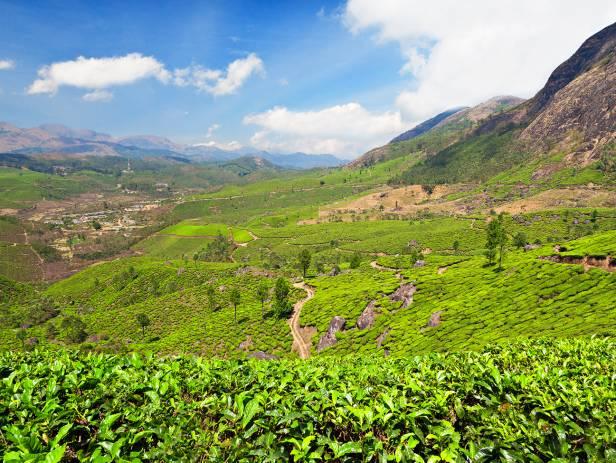 Lush, green tea garden in Darjeeling