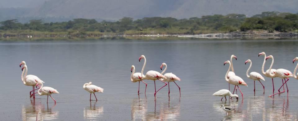 Flamingos gathered at the Lake Elementaita