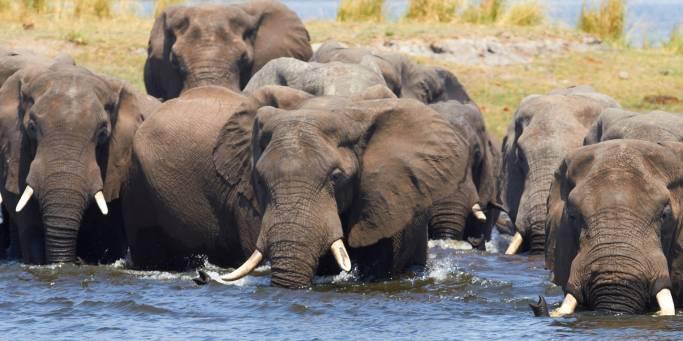 Elephants | African Safaris | Africa