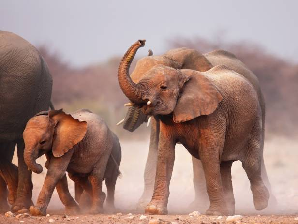 Baby elephant following adult elephant across the dirt road at Chobe National Park