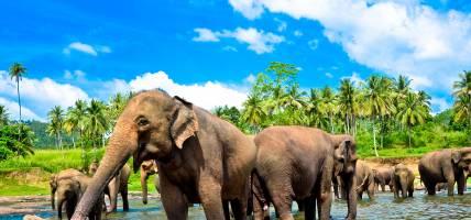 Elephants in Pinnawala Orphanage - Sri Lanka Tours - On The Go Tours