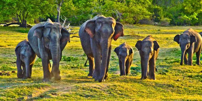 A herd of elephants | Sri Lanka