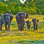 A herd of elephants | Sri Lanka