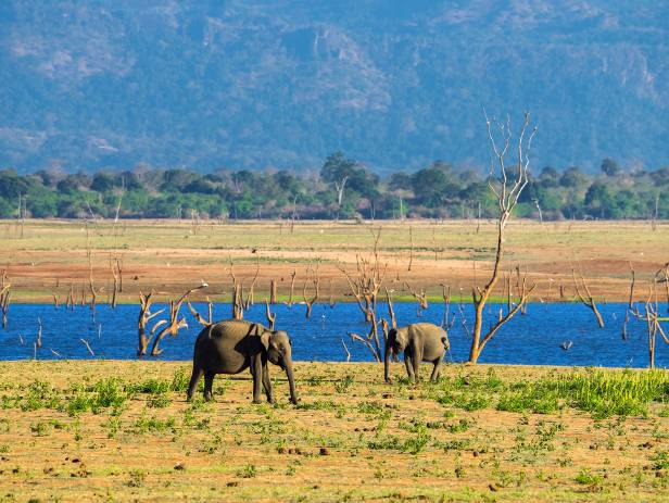 Elephants in the long grass of Udwalawe National Park