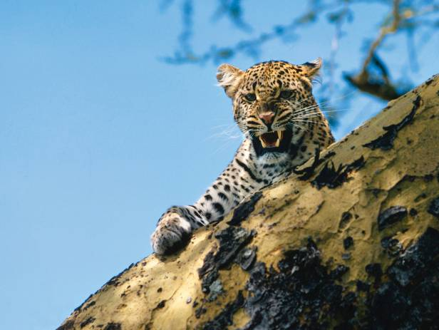 Leopard staring majestically at the camera in Kruger National Park