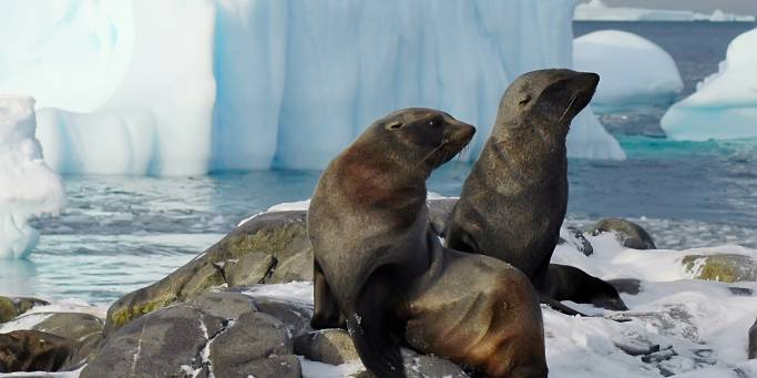 Fur seals on Adelaide Island | Antarctica
