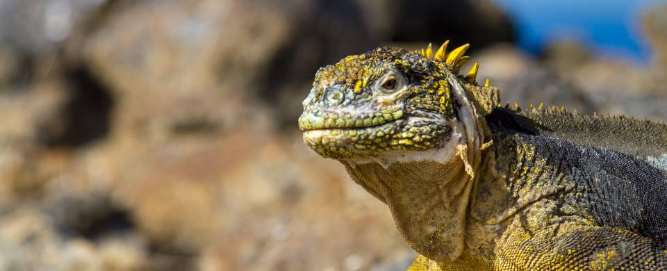 Marine iguana on a rock on the Galapagos Islands