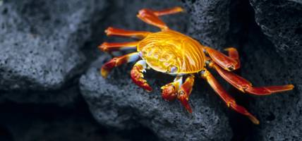 Galapagos Sally Lightfoot crab - Galapagos Wildlife Calendar - On The Go Tours
