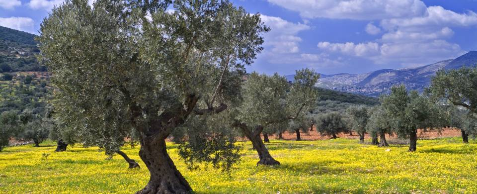 Slanted trees in the olive groves of Galilee