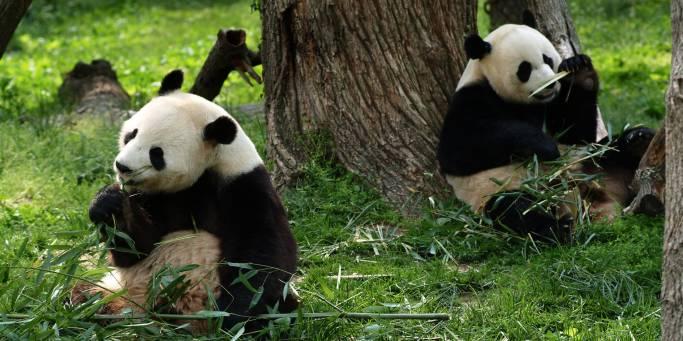 Giant Pandas | China