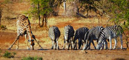 Giraffe and zebra at water hole - On The Go Tours