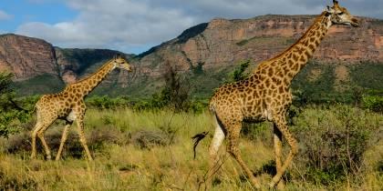 Giraffes in Entabeni Game Reserve