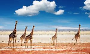 Girrafes in Etosha - Namibia - On The Go Tours