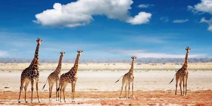 Giraffes in Etosha | Namibia | On The Go Tours