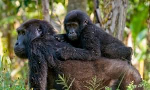 Gorilla in Uganda - On The Go Tours