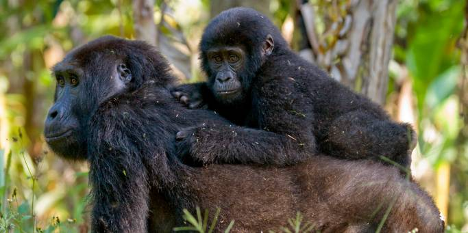 Gorilla with her baby | Uganda | On The Go Tours