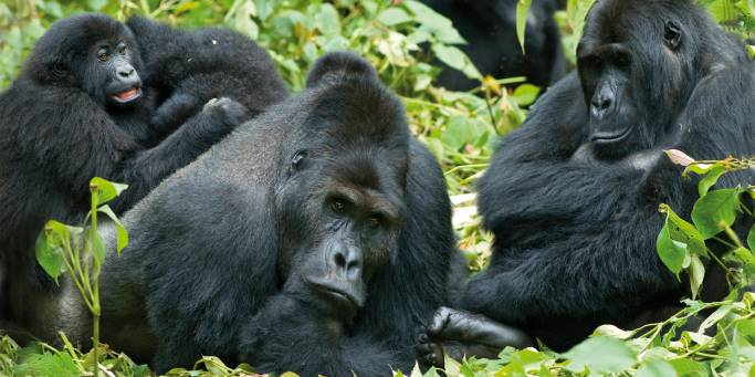 Gorillas | Uganda | Africa