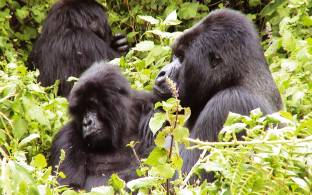 Trek to see the mountain gorillas on our Uganda safari tours