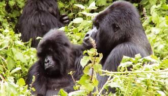 Trek to see the mountain gorillas on our Uganda safari tours