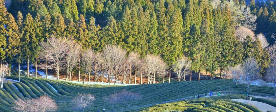 Rolling hills, covered in tea plantations, in Boseong, near Gwangju