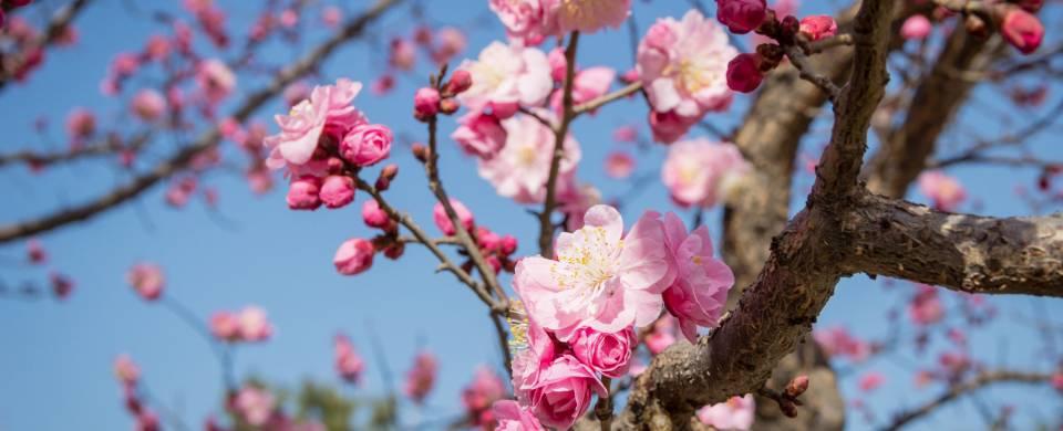 Stunning pink blossom in Gwangyang