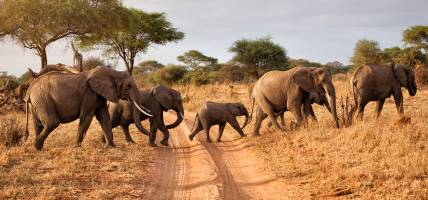 Herd of Elephants- Africa Overland Safaris - Africa Lodge Safaris - Africa Tours - On The Go Tours
