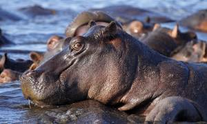 Hippo in Chobe - Botswana - On The Go Tours