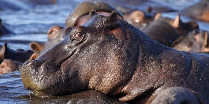 Hippo in Chobe | Botswana | On The Go Tours