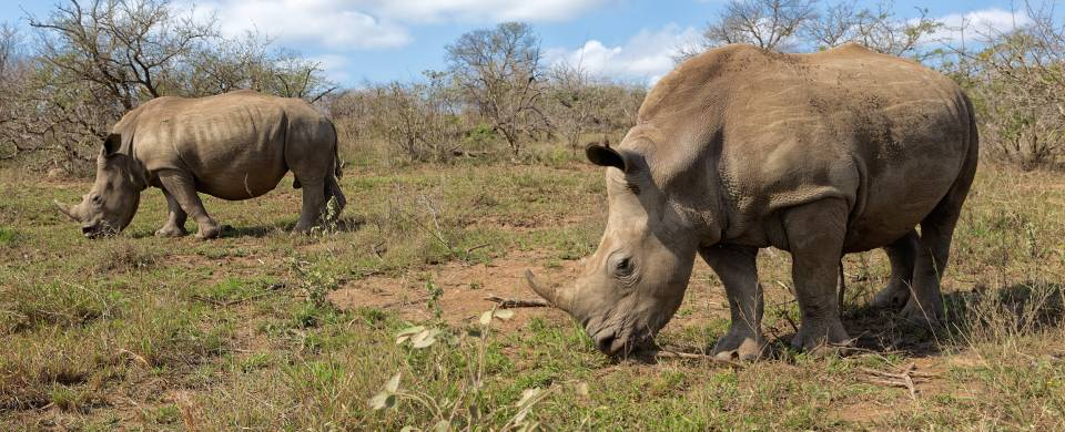Two rhinos grazing in Hluhluwe National Park