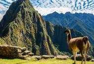 Picture of a llama looking out across to Huayna Picchu in Peru