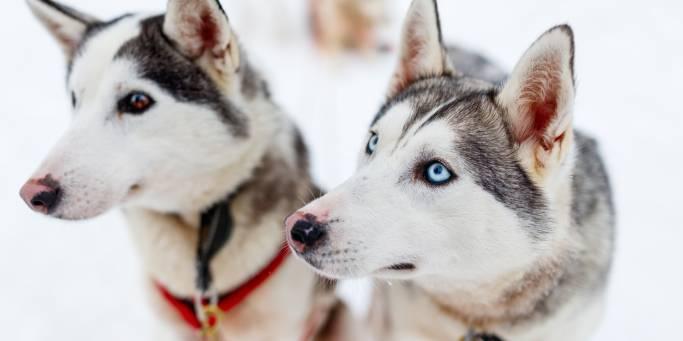 Huskies | Finland