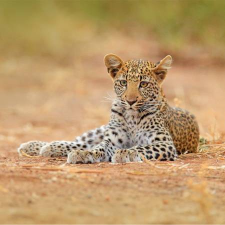 Hwange NP Leopard - On The Go Tours