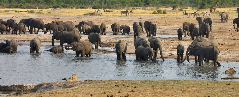 Herd of elephants drinking at a water hole at Hwange National Park