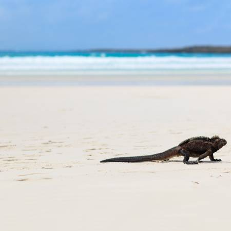 Iguana on beach flipped - Galapagos Cruises - South America Tours - On The Go Tours