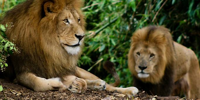 Male Lions | African Safaris | Africa