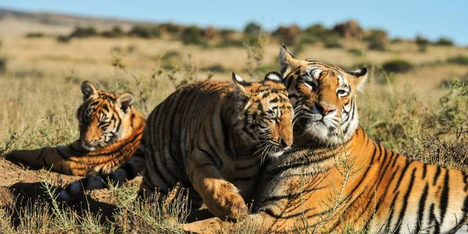 Mother tiger and cubs | India