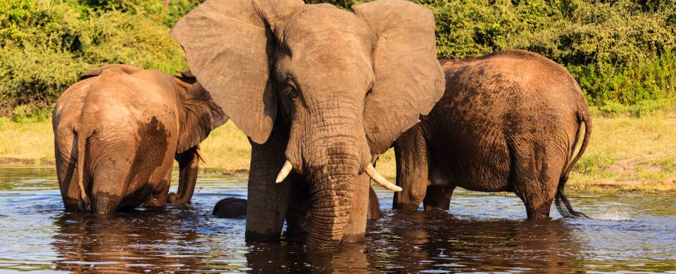 Elephants standing and drinking in a watering hole in Kasane
