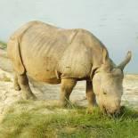 Grazing rhino | Kaziranga National Park | India